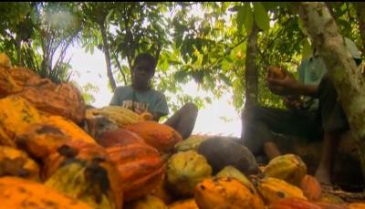 trabalho infantil em fazenda de cacau