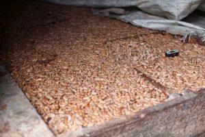 fermentação de cacau - fazenda Camboa